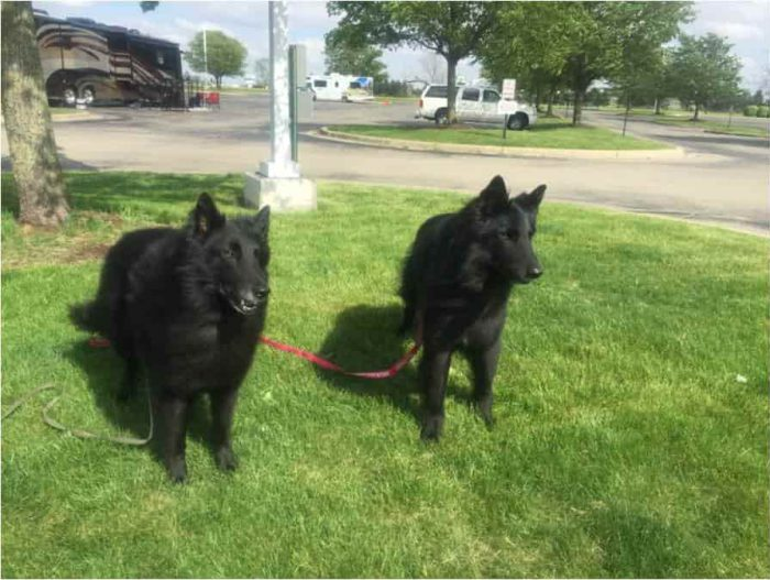 belgian sheepdogs-min